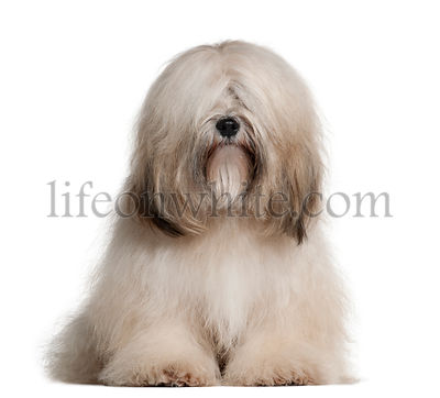 Tibetan Terrier, 2 years old, sitting