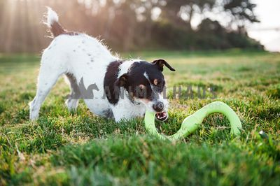 A jack russell terrier playing with a Bumi toy at the park