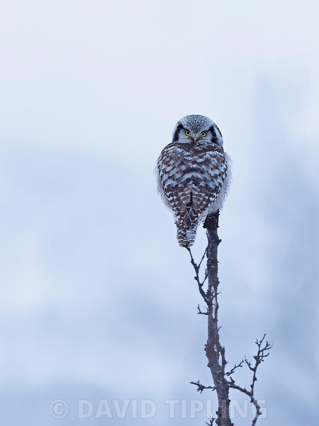 Northern Hawk Owl, Tana Valley Norway winter