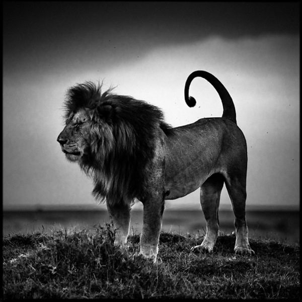 6994-Lion_before_storm_Kenya_2013_Laurent_Baheux