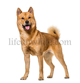 Shiba Inu standing in studio against white background