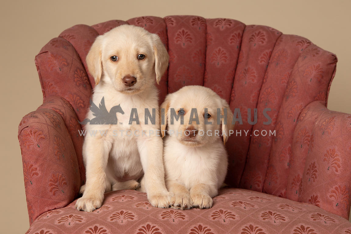 Two yellow lab puppies on antique chair in studio