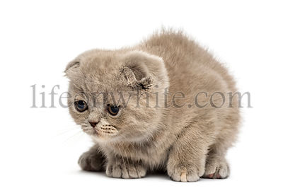 Young Foldex kitten lying down isolated on white