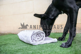 Black puppy uses a rolled up towel with treats for enrichment