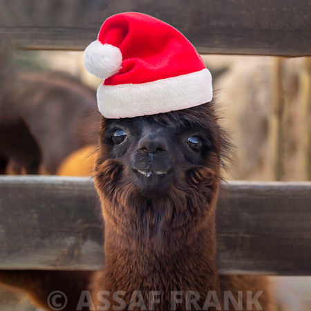 Funny Alpaca with Santa hat
