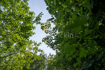 Looking up into the trees on a hot summer day in the UK.