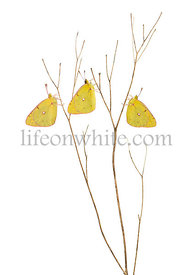 Clouded Sulphur butterflies landed on a thin branch, Colias philodice, isolated on white