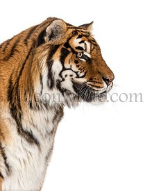 Side view Tiger's head portrait, close-up, isolated on white