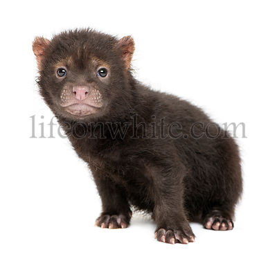 Baby Bushdog sitting, looking at the camera, Speothos venaticus, 2 months old, isolated on white