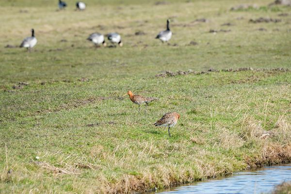 Godwits, geese and hare on it's form