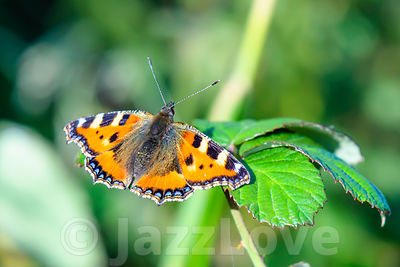 Colorful butterfly, Small Tortoiseshell, Aglais urticae, spreading it's wings.