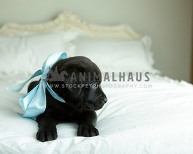 Solid black puppy with blue satin ribbon looks off screen while laying on bed