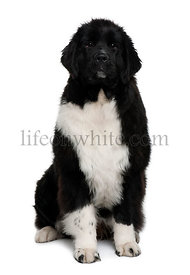 Newfoundland puppy, 7 months old, sitting in front of white background