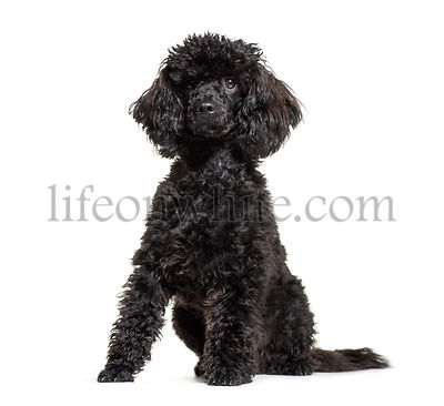 Poodle, 9 months old, sitting in front of white background