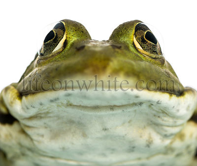 Close-up of an Edible Frog facing, Pelophylax kl. esculentus, isolated on white