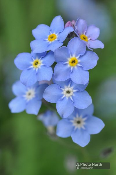 FORGET-ME-NOT 02A - Wood forget-me-not