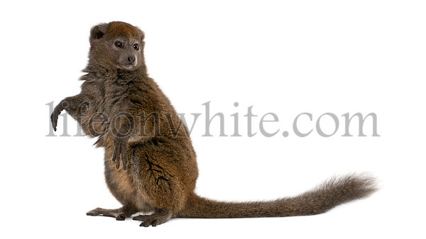 Lac Alaotra bamboo lemur, Hapalemur alaotrensis, 11 years old, standing in front of white background