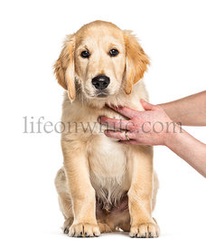 training session with a Puppy golden retriever, 3 months old, isolated on white