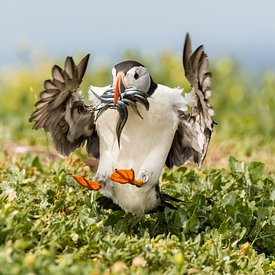 Puffin With Sand Eels Landing