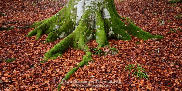 Prints & Stock Image - Beech tree trunk and moss covered roots surrounded by fallen autumn leaves, near Logie, Moray, Scotland
