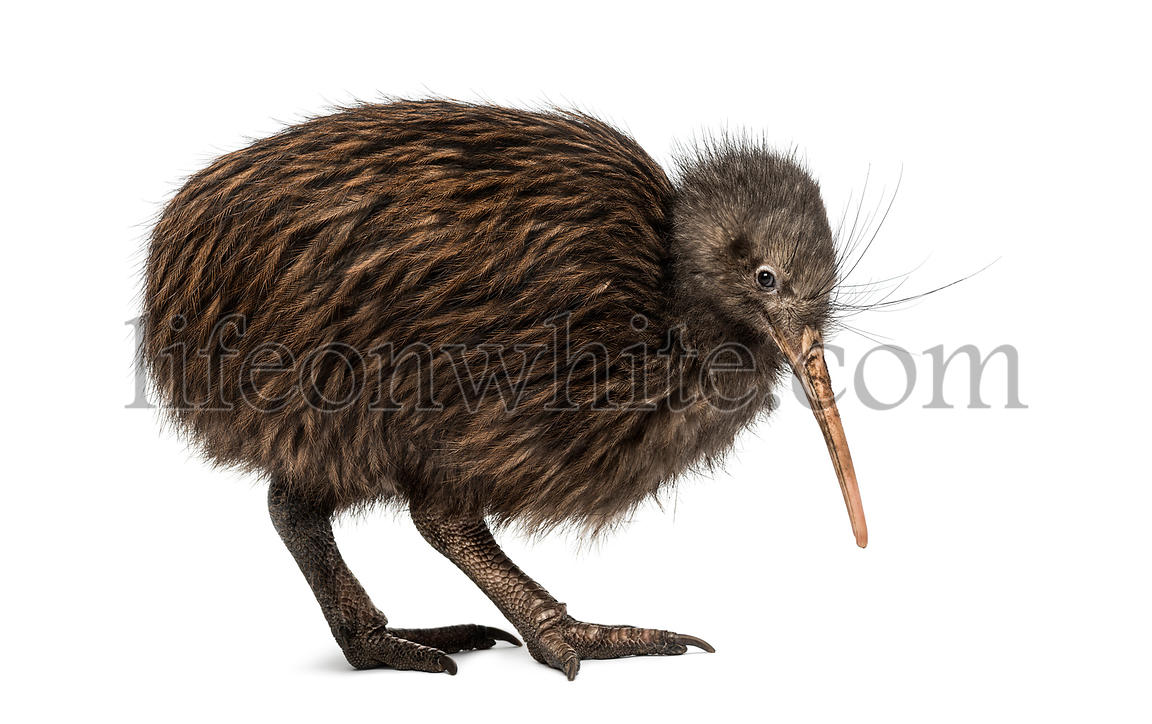 North Island Brown Kiwi, Apteryx mantelli