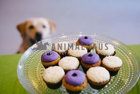 A tray of cupcakes with a yellow lab sitting in the background