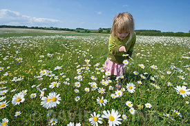 Young girl (Charlotte Tipling) among Ox-eye daisies North Norfolk summer (model released)