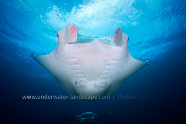 Reef manta ray at Raja Ampat