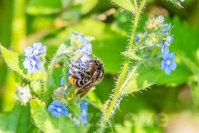 Bee pollinating wildflowers in springtime.