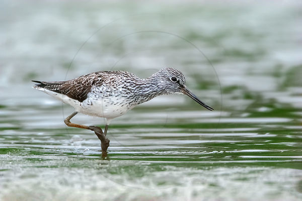 Chevalier criard - Greater Yellowlegs (Tringa melanoleuca)