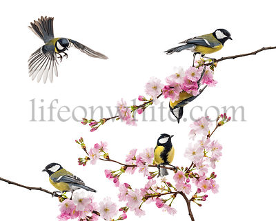group of great tit perched on a flowering branch, Parus major, isolated on white