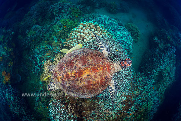 Green Turtle on coral garden