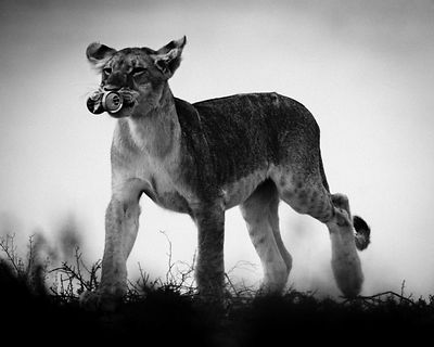 5344-Young_lioness_with_a_can_Laurent_Baheux