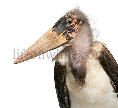 Marabou Stork, Leptoptilos crumeniferus, 1 year old, in front of white background
