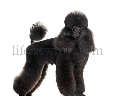 Groomed black poodle, standing, isolated on white