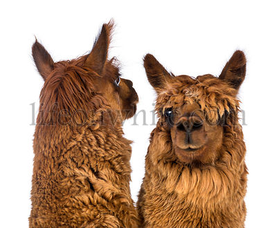 Close-up of Two Alpacas, one is looking back and the other is looking at camera against white background