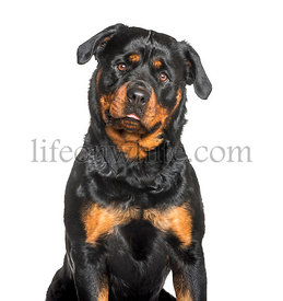 Rottweiler sitting against white background
