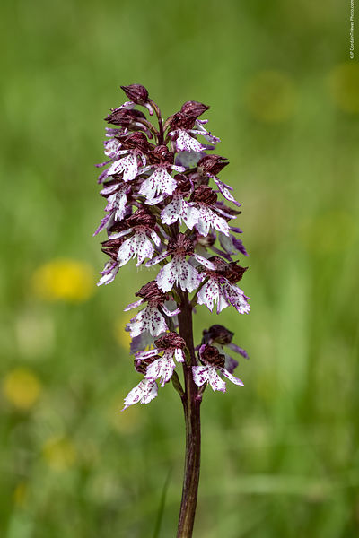 orchis_pourpre-80