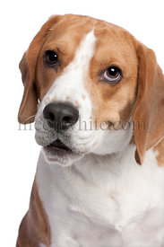 Close-up on a Beagle's head