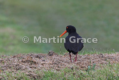 Dark morph Variable Oystercatcher (Black Oystercatcher) (Haematopus unicolor) in heavy rain, Okarito, West Coast, South Islan...