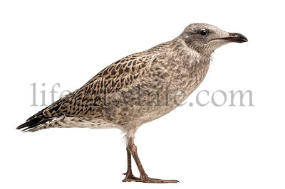 European Herring Gull, Larus argentatus, 3 month old against white background