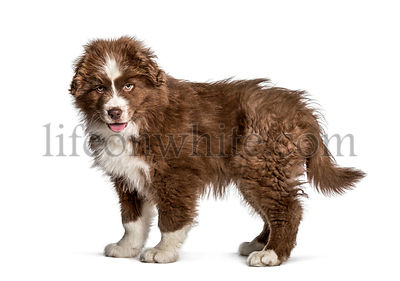 Panting puppy Australian Shepherd, 2 months, looking at camera against white background