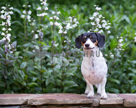 Tri color doxie stands on stone ledge infront of white flowers