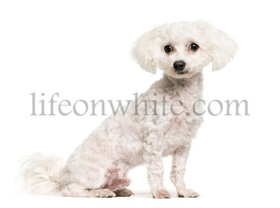 Maltese, 7 months old, sitting in front of white background