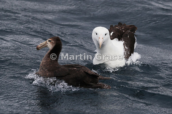 Northern Royal Albatross (Diomedea epomophora) on the water, with Northern Giant Petrel (Macronectes halli) (left), Kaikoura,...