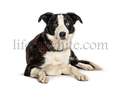 Lying black and white Border collie dog, isolated on white