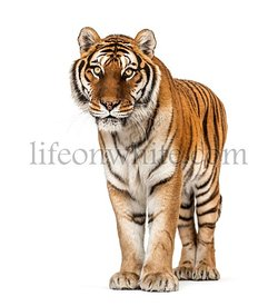 Tiger standing on a white background