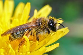Closeup of the female of the Yellow-legged Mining Bee, Andrena flavipes on a yellow flower of dandelion , Taraxacum officinale
