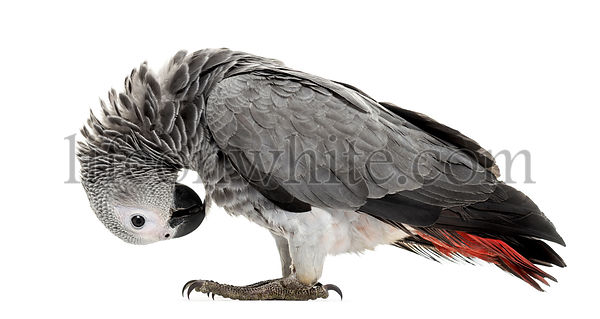 African gery parrot feather-picking in front of a white background