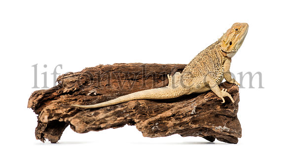 Bearded Dragon, isolated on white